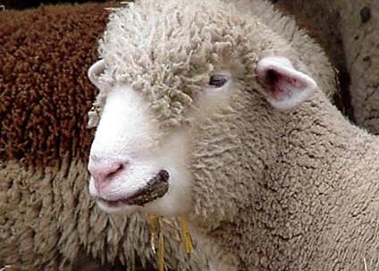 Zoonose schaap